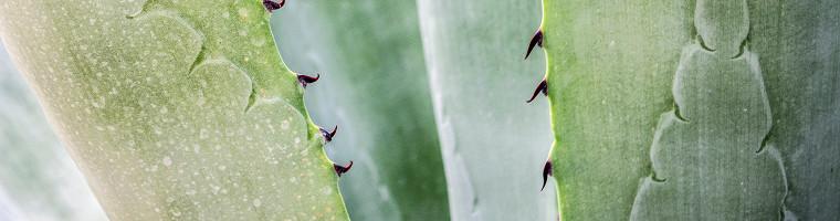Aloe Vera, das tropische Hausmittel gegen Pickel und Akne