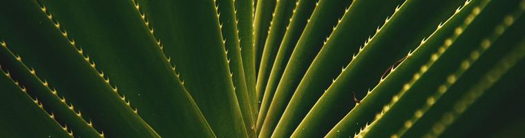 Aloe Vera ist ein heilendes Hausmittel gegen Herpes