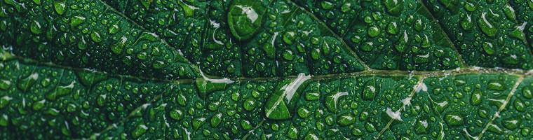 Grüner Tee, ein natürliches Hausmittel gegen Pickel und Akne
