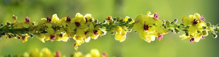 Das Öl der Königskerzenblüte ist ein altes Hausmittel gegen Ohrenschmerzen