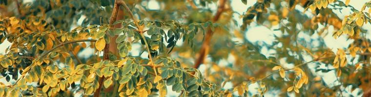 Die Heilpflanze mit dem Namen Moringa oleifara, auch als Meerrettichbaum bezeichnet, hat möglicherweise eine fiebersenkende Wirkung.