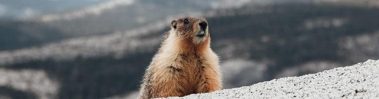 Das Fett des Murmeltiers ist im Alpenraum seit Jahrhunderten ein traditionelles Hausmittel.