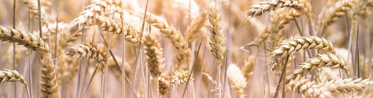 Weizen hat einen hohen Anteil an Magnesium. Vor allem Weizenkleie kann somit eine hervorragende Magnesiumquelle darstellen.
